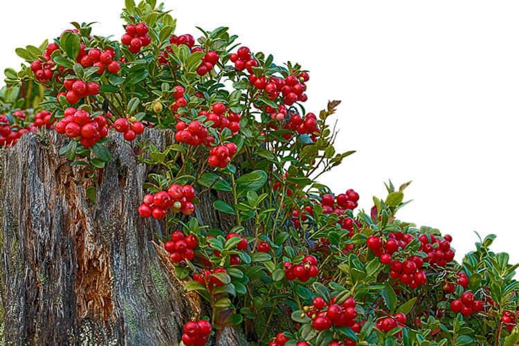 Cranberry Strauch pflanzen
