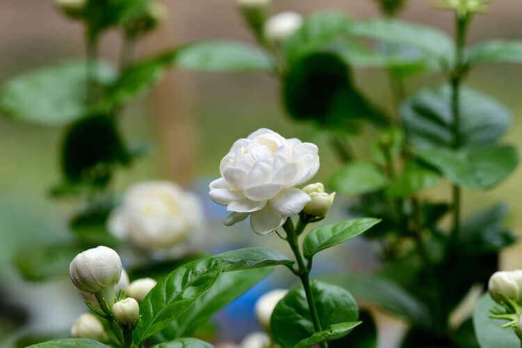 Jasmin-Pflanze überwintern