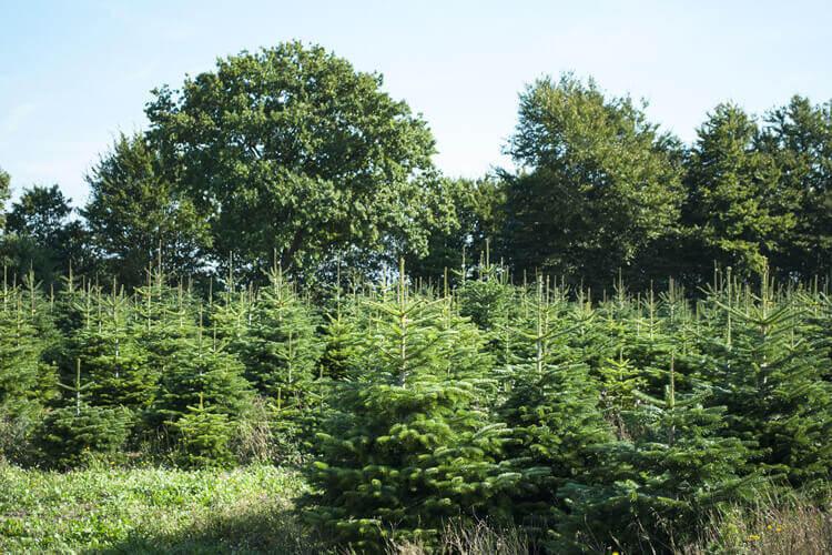 Nordmanntanne pflanzen